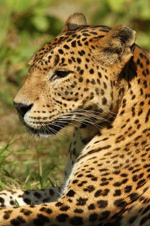 Leopardo  Foto de archivo - 7078006