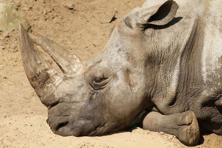 Rhino sleeping photo