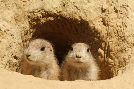 burrow: Two baby prairie dogs looking out of their burrow