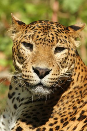 Leopardo  Foto de archivo - 7078005
