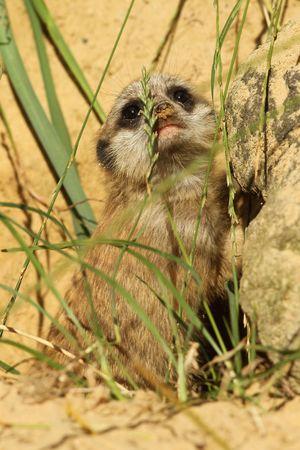 Suricata bebé mirando mientras está de pie en la hierba  Foto de archivo - 7442888