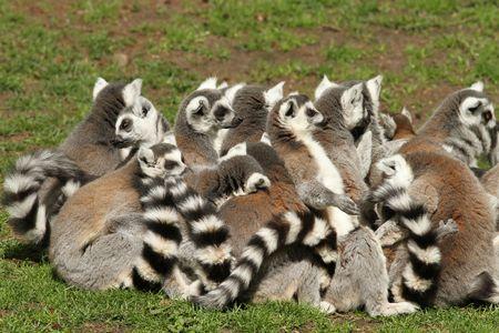 Grupo de lémures lemur  Foto de archivo - 7621374