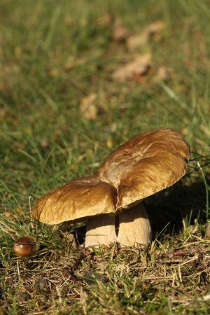 Setas en la hierba Foto de archivo - 8041415