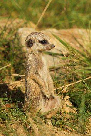 Meerkat poco de pie en posición vertical Foto de archivo - 8041419