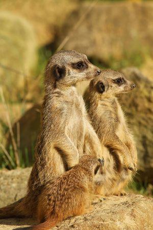 Familia de meerkats con bebé  Foto de archivo - 8041421