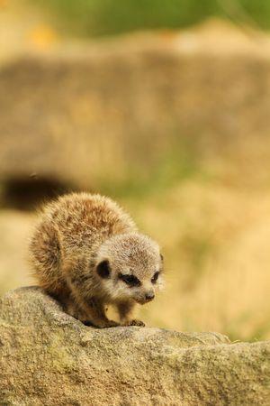 Bebé meerkat permanente sobre una roca Foto de archivo - 8041417