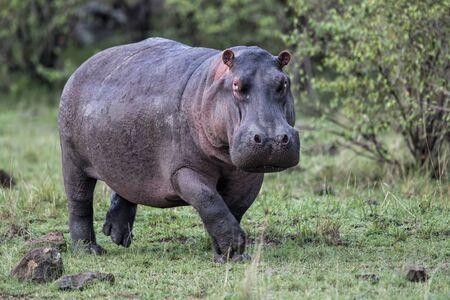 Hippo en fuite sur terre dans le parc national du Masai Mara au Kenya Banque d'images