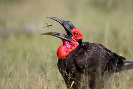 Southern Ground Hornbill eating a grasshopper in Kruger National Park in South Africa