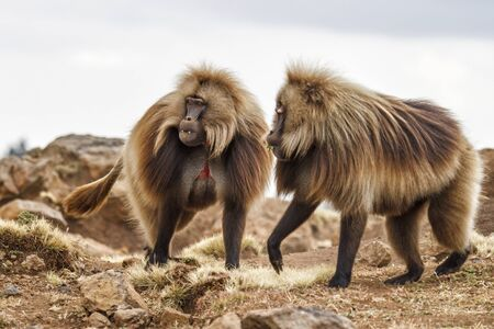 Gelada Baboon males in the Simien Mountains National Park in Amhara region in the North of Ethiopia