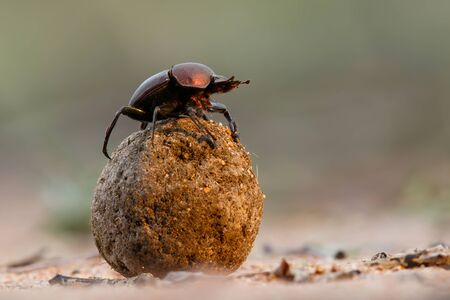 Dung beetle on his dung ball to impress the ladies in Sabi Sands GR, part of the greater Kruger region in South Africa Reklamní fotografie