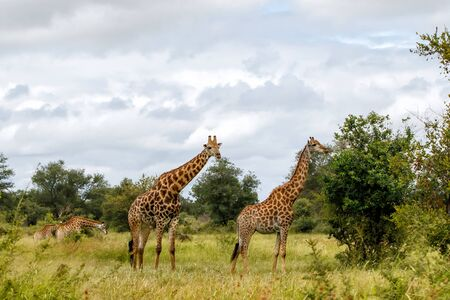 Tower of Giraffe in the Kruger National Park in South Africa