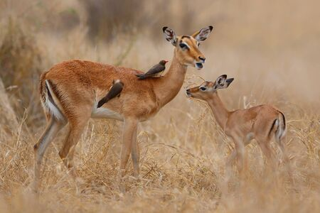 Impala female with her newborn calf standing on the savanna in Kruger National Park in South Africa