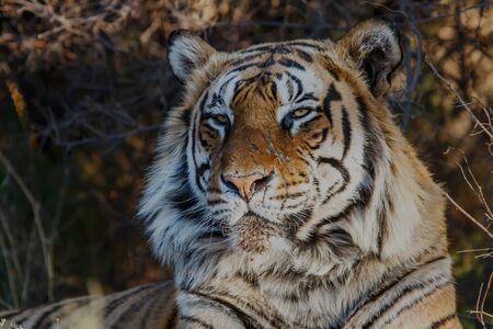 Tiger male portrait in Tiger Canyons Game Reserve in South Africa 免版税图像