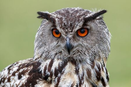 Portrait of a European Eagle Owl (Bubo bubo) with a green meadow in the backgroufd in Gelderland in the Netherlands.