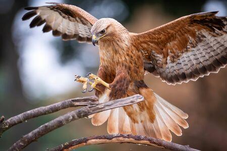 Long legged buzzard (Buteo rufinus) landing on a branch in the Netherlands