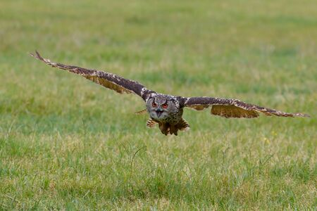 An European Eagle Owl (Bubo bubo) flying over the meadows in the Netherlands. Banque d'images