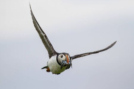 puffin flying with Sand Eel in his beak on the Farne Isles just off the coast of England near the town of Seahouses - United Kingdom Foto de archivo