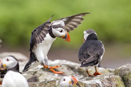 puffin flying on the Farne Isles just off the coast of England near the town of Seahouses - United Kingdom Foto de archivo