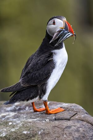 Atlantic puffin with a beak full of sandeels on Farne Isles near the small city of Seahouses in the northeast of England, United Kingdom