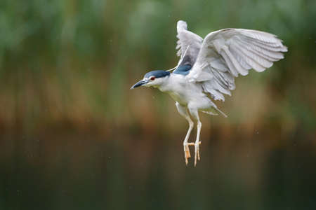 Black Crowned Night Heron (Nycticorax nycticorax) flying in natural habitat. Blurry background