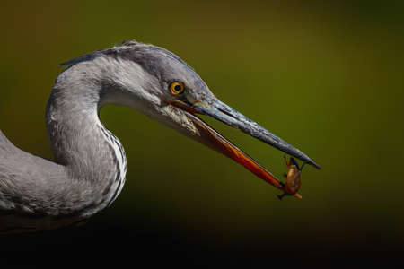 Gray heron portrait .The heron was catching a salamander in a pond in the forest in the Netherlans. Green background. Standard-Bild