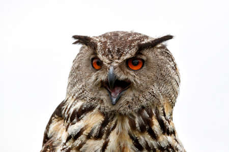 Portrait of a Eurasian Eagle-Owl (Bubo bubo) with his beak open. Gelderland in the Netherlands with a white background Banque d'images
