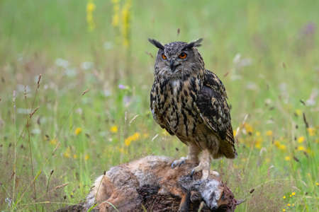 Eurasian Eagle-Owl (Bubo bubo) sitting on a red fox. Noord Brabant in the Netherlands with summer flowers in the background Standard-Bild