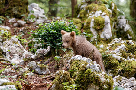 Brown bear - close encounter with wild brown bear cub walking in the forest and mountains of the Notranjska region in Slovenia Stockfoto