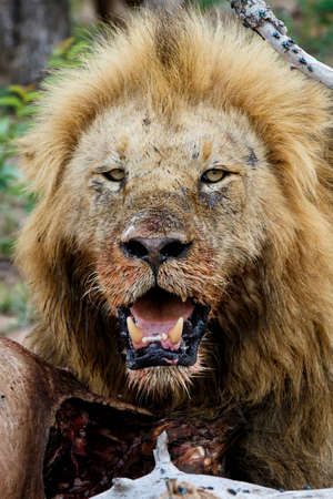 Lion male eating from a buffalo kill in Sabi Sands Game Reserve in the Greater Kruger Region in South Africa Reklamní fotografie