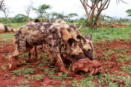African wild dog eating from a warthog kill in Zimanga game reserve in South Africa