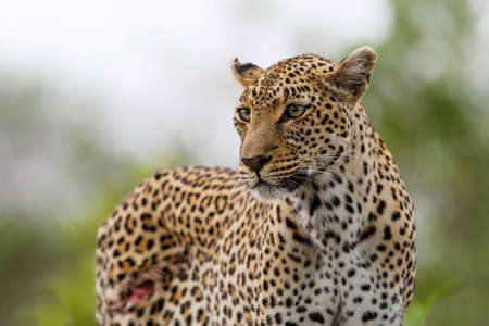 Leopard searching for prey in Sabi Sands Game Reserve in the Greater Kruger Region in South Africa