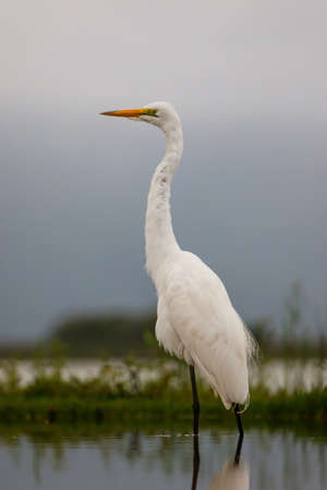 Great white egret wading in a waterhole in Zimanga Game Reserve near the city of Mkuze in South Africa Stockfoto