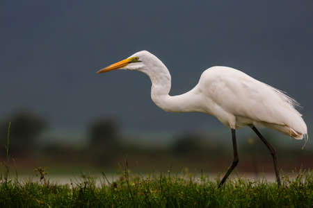 Great white egret wading in a waterhole in Zimanga Game Reserve near the city of Mkuze in South Africa