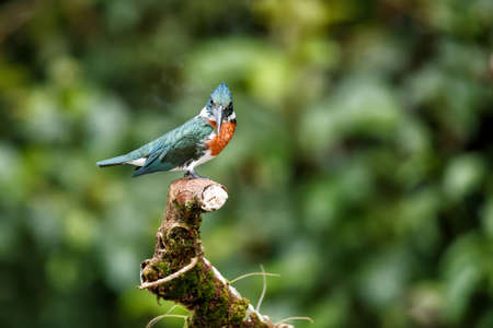 Amazon kingfisher, chloroceryle amazona, sitting on a branch in Cano Negro Wildlife Refuse in Costa Rica