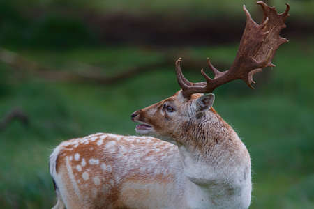 Fallow deer stag in the rutting season in the dune area near Amsterdam
