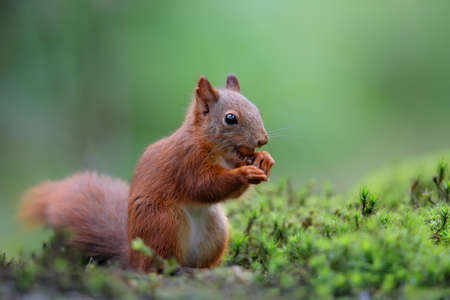Eurasian red squirrel (Sciurus vulgaris) searching for food in the forest of Noord Brabant in the Netherlands. Standard-Bild