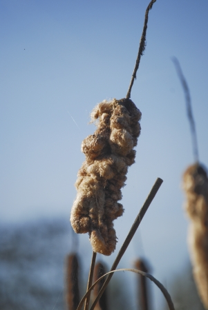 Reed-mace out of flower against blue sky Stock Photo - 15488242