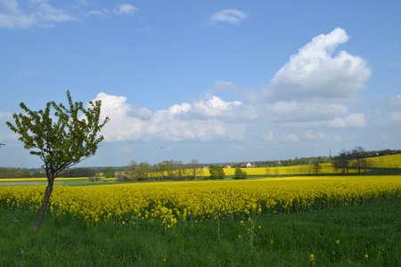 rapeseed: rapeseed fields in Eastern Germany