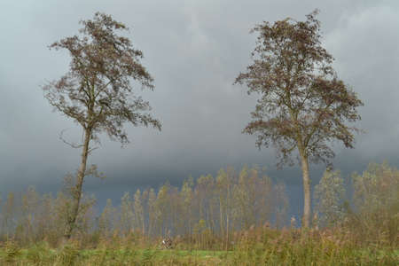 poplars: two lonely trees in the rain