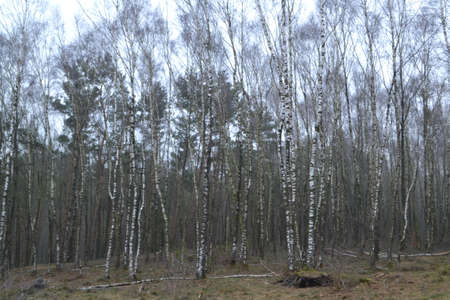 birch trees: birch trees in forest Stock Photo