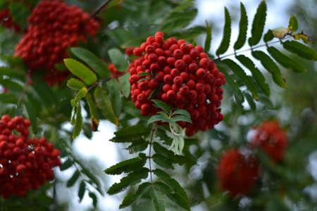 rowan: red ripe rowan