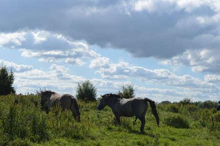 grazer: Konik horses in nature area