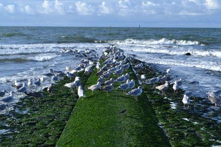 breakwater: breakwater with sea gulls in breakers on Dutch coast