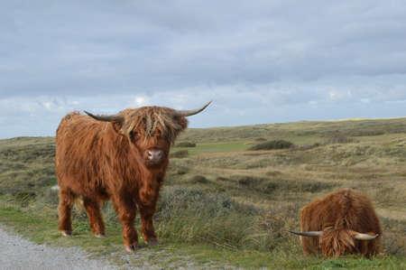 highlander: vacas que pastan Highlander Scottish holand�s dunas Foto de archivo