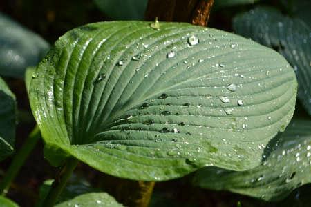 hosta: raindrops on a Hosta leave