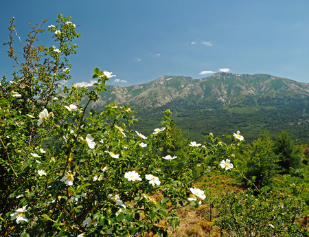 dog rose bush with the snow spoted mountains and the blue sky