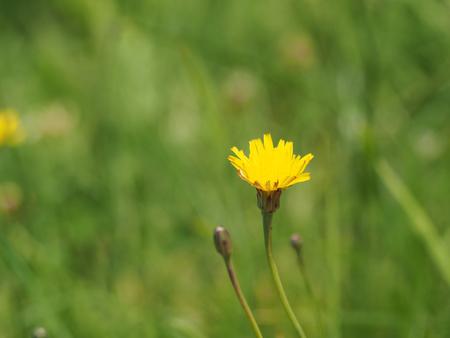 Yellow dandelion flower close up on the geen fuzzy grass backgroud Banco de Imagens
