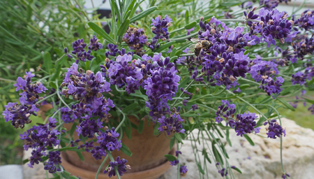 blooming lavender in pottery flowerpot with bee filing down