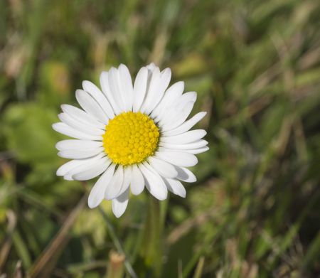 olympus: close up common daisy on green grass