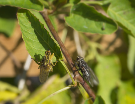 raptorial: macro yellow dung fly or the golden dung fly Scathophaga stercoraria in green leaves Stock Photo